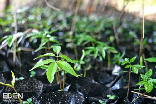 Eden projet tree planting